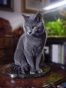 Gatto pelo corto blu
